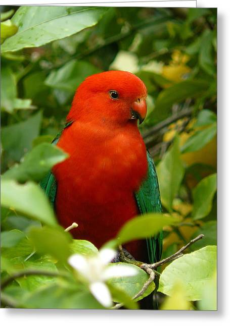 Greeting Card featuring the photograph  Aussie King Parrot by Margaret Stockdale