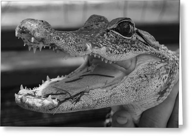 Baby Gator B W Greeting Card by Rob Hans