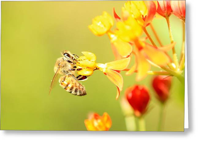 Greeting Card featuring the photograph  Bee On Milkweed by Greg Allore