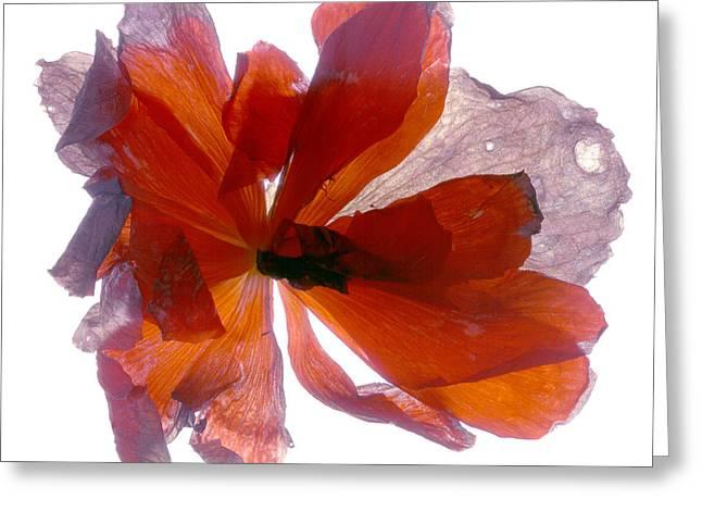 Begonia Round Greeting Card by Julia McLemore