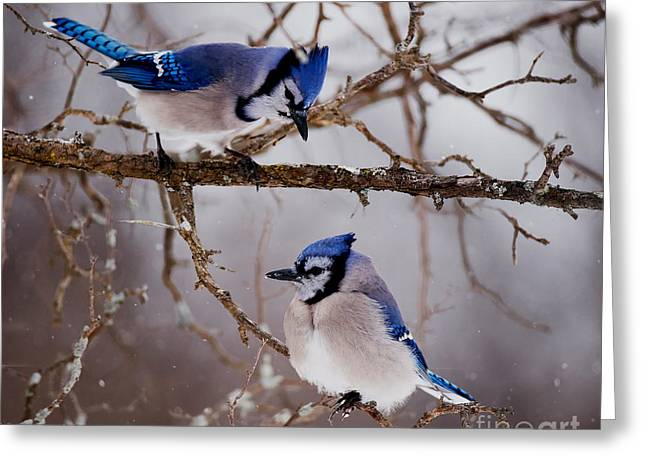 Blue Jay Pictures 61 Greeting Card