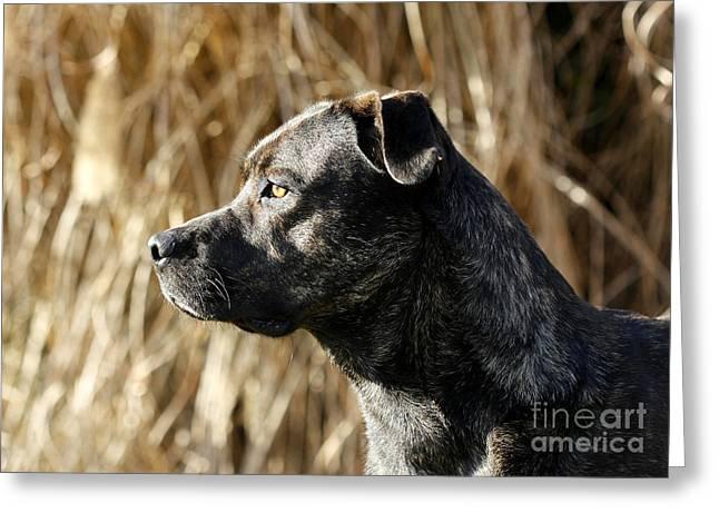 Bullmastiff Dog Watching The Sunrise Greeting Card