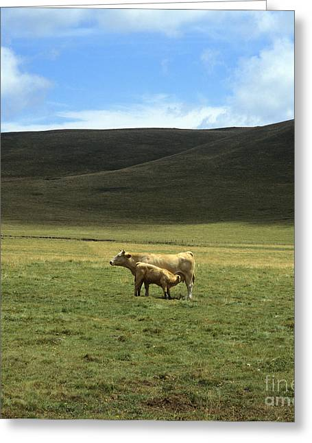 Cow And Calf. Aubrac . France. Greeting Card by Bernard Jaubert