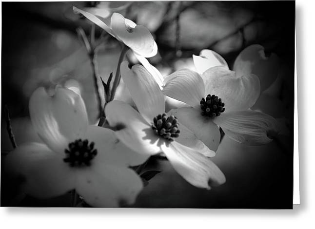 Dogwood Blossoms-bk-wh-v Greeting Card