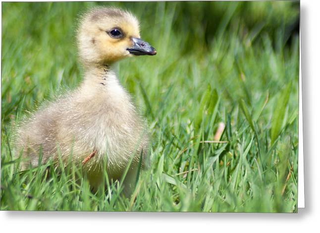 Gosling Greeting Card by Optical Playground By MP Ray