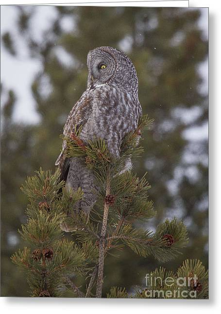 Great Gray Owl 1 Greeting Card by Katie LaSalle-Lowery