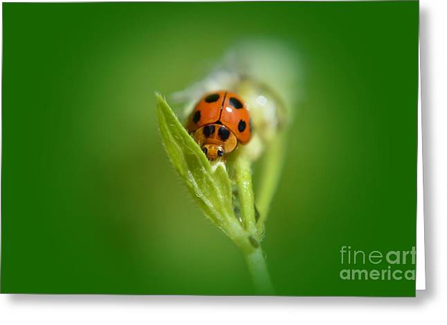 Ladybug Greeting Card by Michelle Meenawong