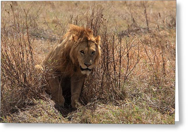 Lions Of The Ngorongoro Crater Greeting Card by Aidan Moran
