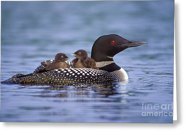 Loon Carrying Chicks 44 Greeting Card