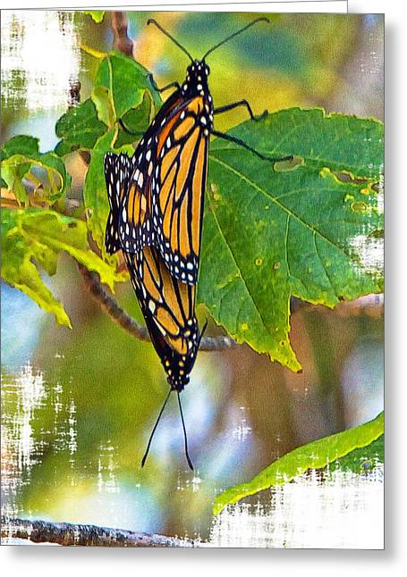 Monarch Butterflies Coupled In Their Mating Ritual  Greeting Card