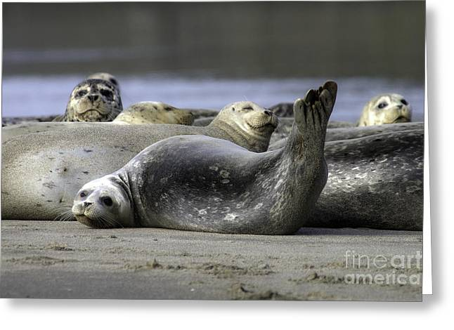 Nestucca Bay Harbor Seals Greeting Card by Tim Moore
