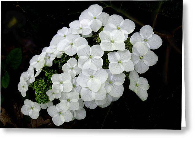 Greeting Card featuring the photograph  Oak Leaf Hydrangea by William Tanneberger