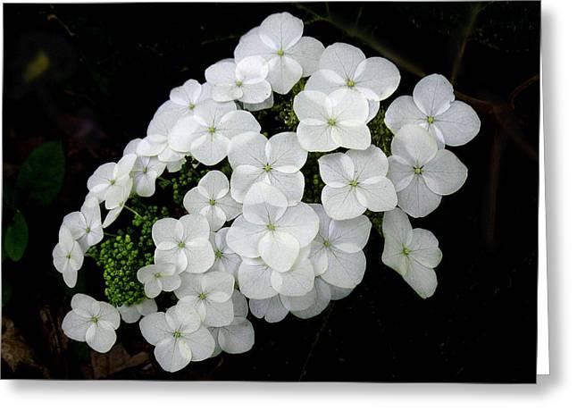 Oak Leaf Hydrangea Greeting Card