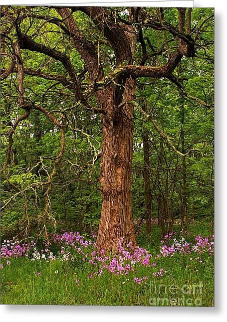 Oak Tree And Dame's Rocket Greeting Card by Randy Pollard