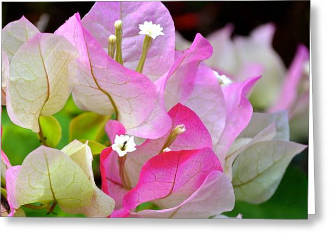 Pink  Bougainvillea ...with A Friend Greeting Card