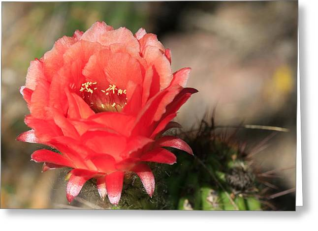 Red  Cacti Flower Greeting Card