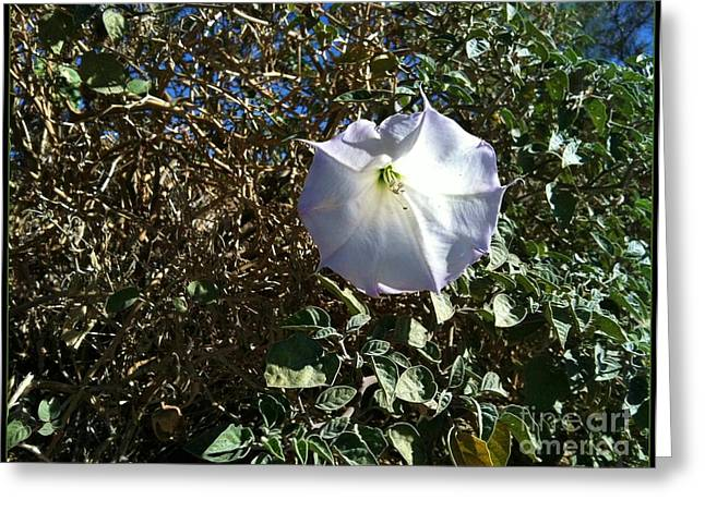 Greeting Card featuring the photograph  Sacred Datura by Angela J Wright