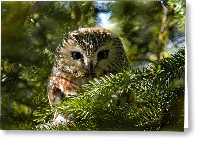 Saw-whet Owl Pictures  5 Greeting Card by Owl Images
