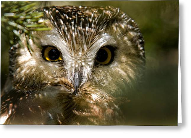 Saw-whet Owl Pictures  6 Greeting Card by Owl Images