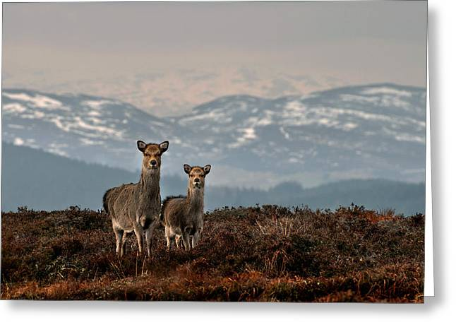 Greeting Card featuring the photograph    Sika Deer by Gavin Macrae