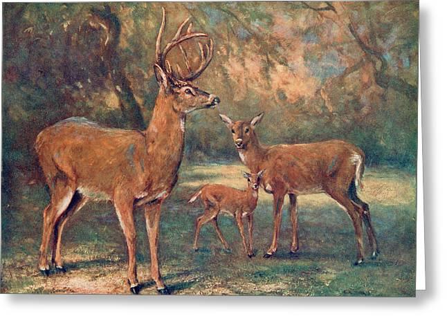 White Tailed Virginian Deer  (cariacus Greeting Card