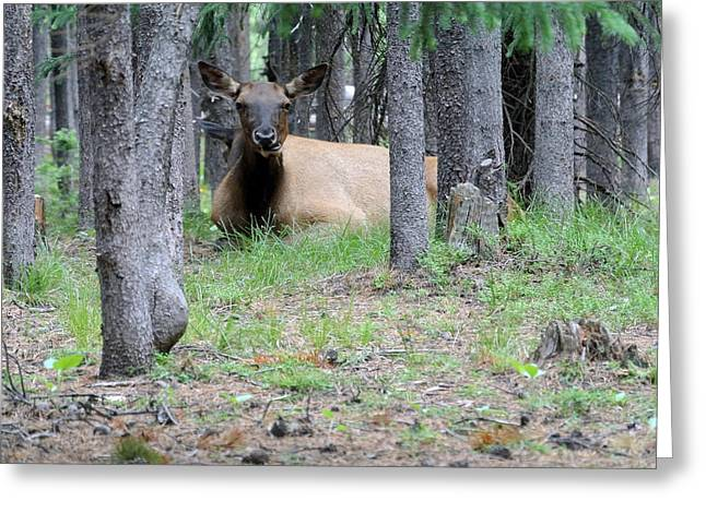 Yellowstone Park Elk  Greeting Card by Larry Stolle