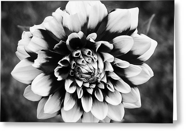 01 Lovely Dahlia Greeting Card by Ben Shields