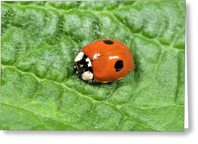 2-spot Ladybird Greeting Card by Nigel Downer