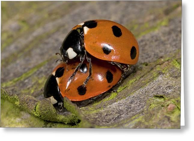 7-spot Ladybirds Greeting Card by Nigel Downer