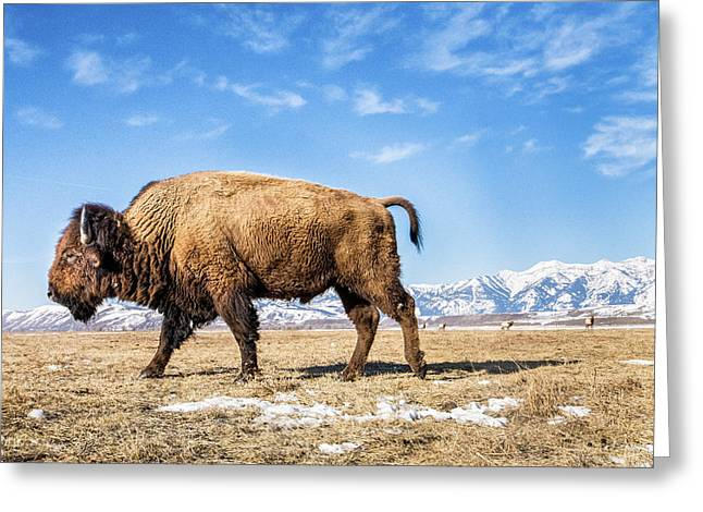 A Bison In The 24,700-acre National Elk Greeting Card