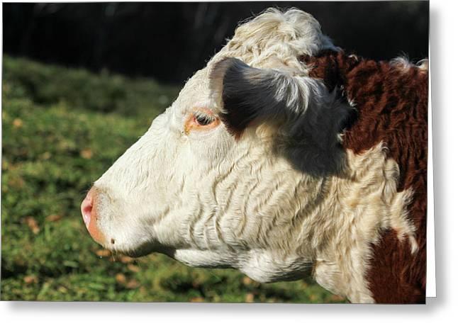A Cow At Wheel-view Farm, Shelburne Greeting Card
