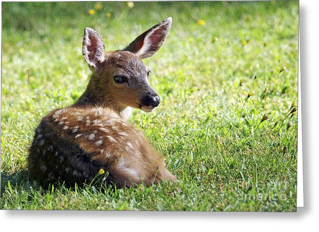 A Fawn On The Lawn Greeting Card