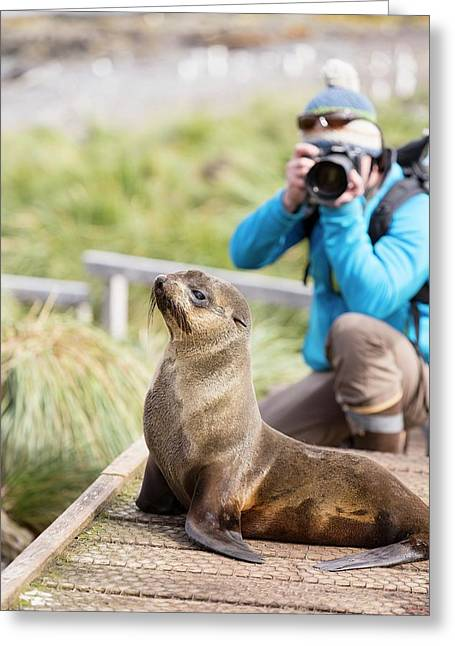 A Female Antarctic Fur Seal Greeting Card