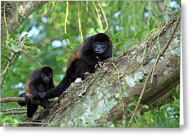 A Female Mantled Howler Monkey Greeting Card