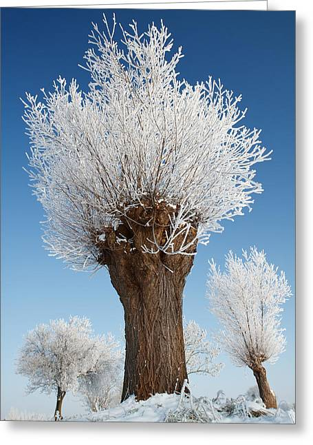 A Frosted Willow On A Very Cold And Bright Winter Day Greeting Card by Roeselien Raimond