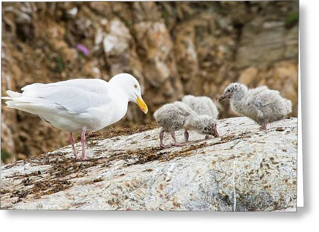 A Glaucous Gull (larus Hyperboreus) Greeting Card by Ashley Cooper