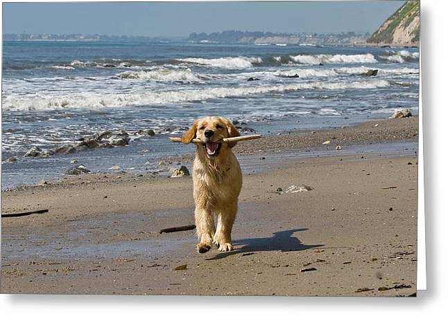 A Golden Retriever Walking With A Stick Greeting Card