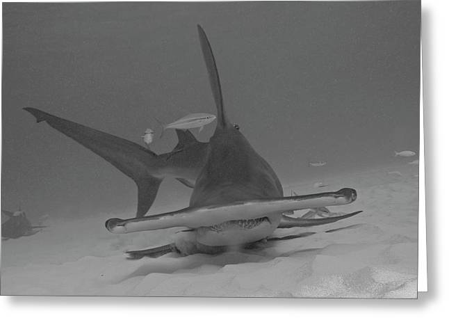 A Great Hammerhead Shark At Bimini Greeting Card by Brent Barnes