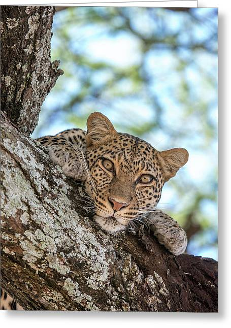 A Leopard, Panthera Pardus, Resting Greeting Card