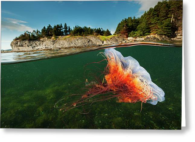 A Lions Mane Jellyfish Drifts In Bonne Greeting Card