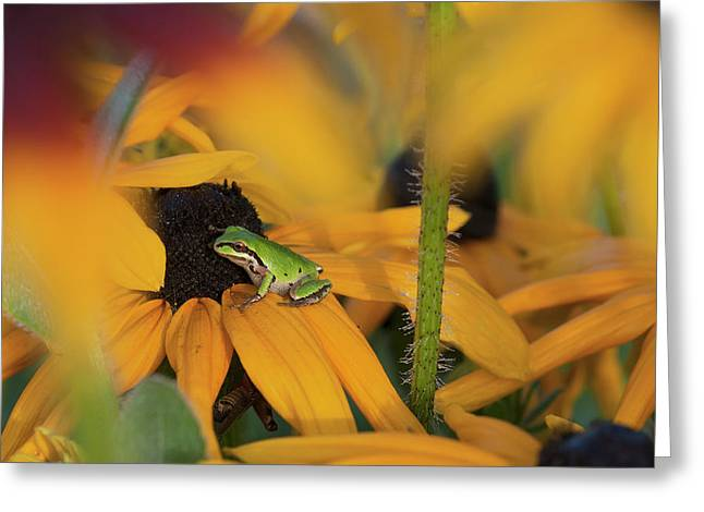 A Pacific Treefrog Looks For Flies Greeting Card