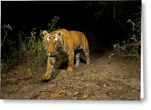 A Remote Camera Captures A Bengal Tiger Greeting Card