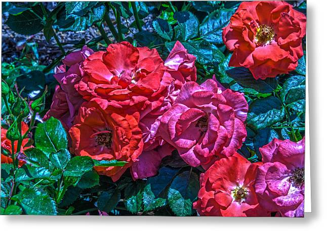 A Rose Is A Rose Greeting Card by Richard J Cassato