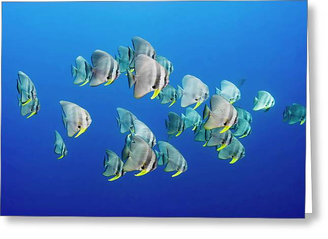 A Small School Of Batfish Swim In Kimbe Greeting Card
