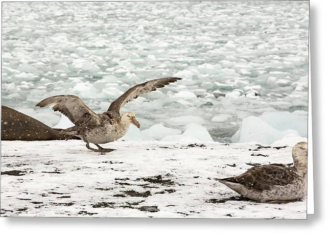 A Southern Giant Petrel Greeting Card