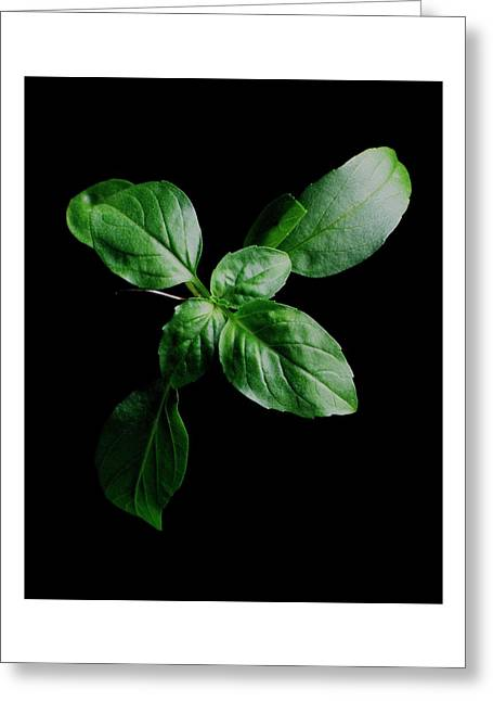 A Sprig Of Basil Greeting Card
