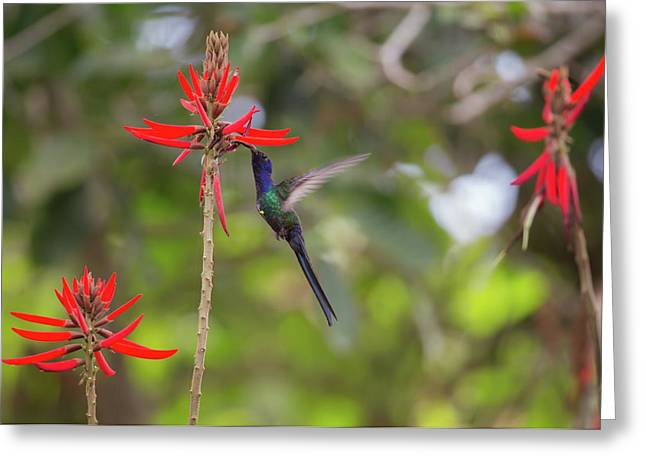 A Swallow-tailed Hummingbird Greeting Card by Alex Saberi
