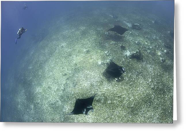 A Trio Of Reef Manta Rays Swimming Greeting Card by Steve Jones