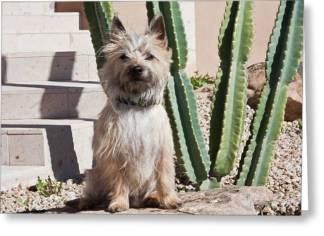 A White Cairn Terrier Sitting Next Greeting Card by Zandria Muench Beraldo