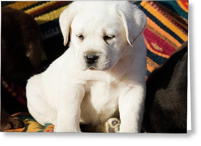 A Yellow Labrador Retriever Puppy Greeting Card